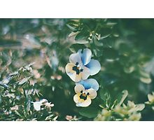 Vintage Pansy Photographic Print