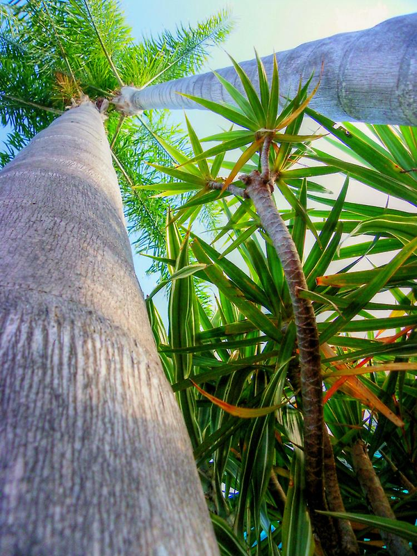 Palm Trees - HDR by Tyhe  Reading