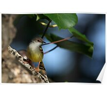 Bar-winged Prinia (Prinia familiaris) Poster