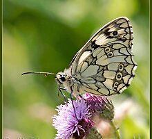 Marble White (Melonargia galathia) (I) by DonMc