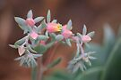 Echeveria imbricata. Flower. by Maree  Clarkson