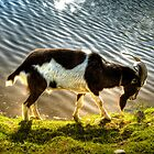 Billy Goat Gruff 2 by James  Birkbeck Animals