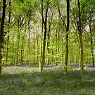 Springtime in Sherwood Forest by geoff curtis