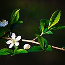 Blossoms of Spring by Vicki Field