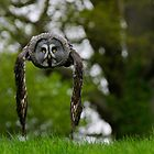 Great Grey Owl (Strix nebulosa) in flight by buttonpresser