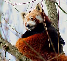 Red Panda  by blueandwhite80