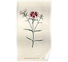 The Botanical magazine, or, Flower garden displayed by William Curtis V1 V2 1787 1789 0058 Dianthus Chinensis, China or Indian Pink Poster