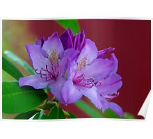 New Azalea Blossoms Beside the General Burrows Covered Bridge Poster