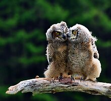 Great Horned Owlets by Nancy Barrett