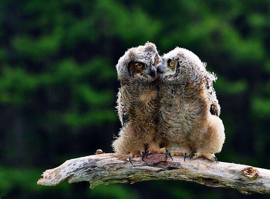 Great Horned Owlets by Nancy Barrett