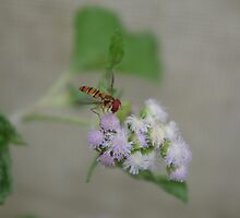 Hoverfly on nettles by abbycat