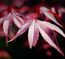 Japanese Acer by Lissywitch