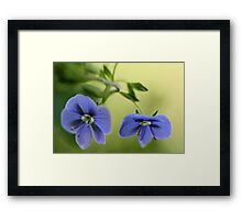 -Blue Speedwell Blossoms Framed Print