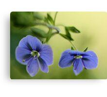 -Blue Speedwell Blossoms Canvas Print