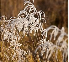 Frosted grasses by Dave  Knowles