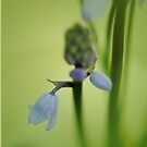 Solitary bluebell by Lissywitch