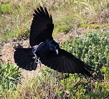 Crow in flight  by Doug Cliff