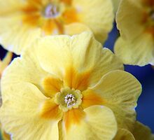 Yellow Primula Flowers by Vicki Field