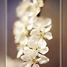 Plum tree blossom by Lissywitch