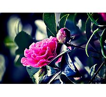 Camellia in the Rain Photographic Print