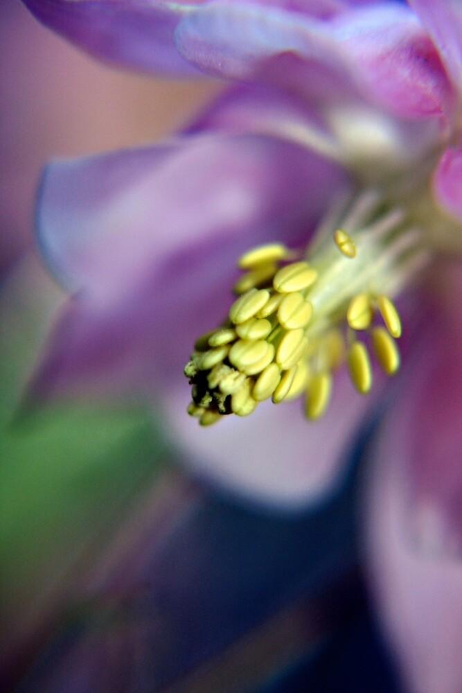 Purple Aquilegia flower by Vicki Field