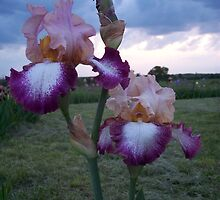 fancy Iris by seemyshots