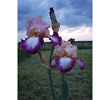 fancy Iris Photographic Print