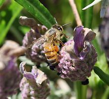 Honeybees by Cleber Photography Design