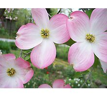 Pink dogwood Tree Blossums Photographic Print