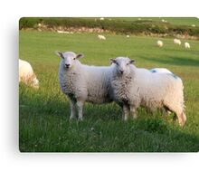 Sheep of Llanfairfechan. Canvas Print