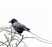Jackdaw on a branch by Vicki Field