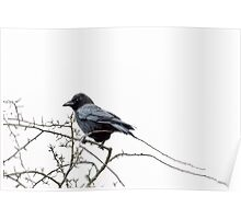 Jackdaw on a branch Poster