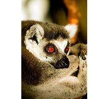 Portrait of a Ring Tailed Lemur Photographic Print