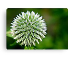 Globe Thistle (Echinops) Seed head Canvas Print