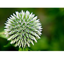 Globe Thistle (Echinops) Seed head Photographic Print
