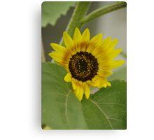Sunflower - macro Canvas Print