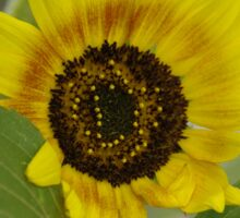 Sunflower - macro Sticker