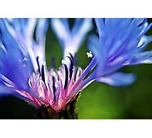 Cornflower Floral Macro Art Photographic Print