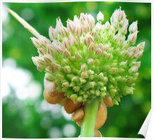 Flowering Wild Garlic Plant Poster