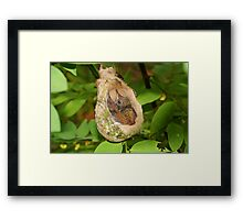 Two babies Rufous-tailed hummingbird in nest Framed Print
