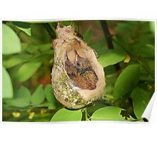 Two babies Rufous-tailed hummingbird in nest Poster
