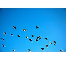flying homing pigeon Photographic Print