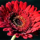 Red Gerbera on Black by Lissywitch