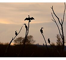 Cormorants roost Photographic Print
