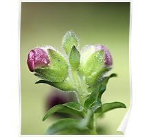 Flower buds Poster