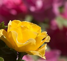 Yellow Rose Of Toronto by EugeJ