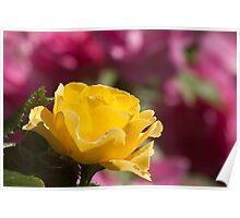 Yellow Rose Of Toronto Poster