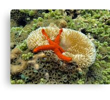 Underwater comet sea star on a sun anemone Canvas Print