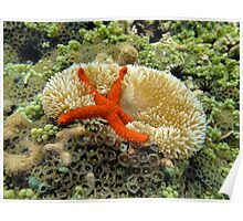 Underwater comet sea star on a sun anemone Poster