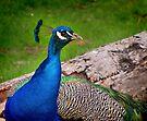 Peacock by Carol Bleasdale